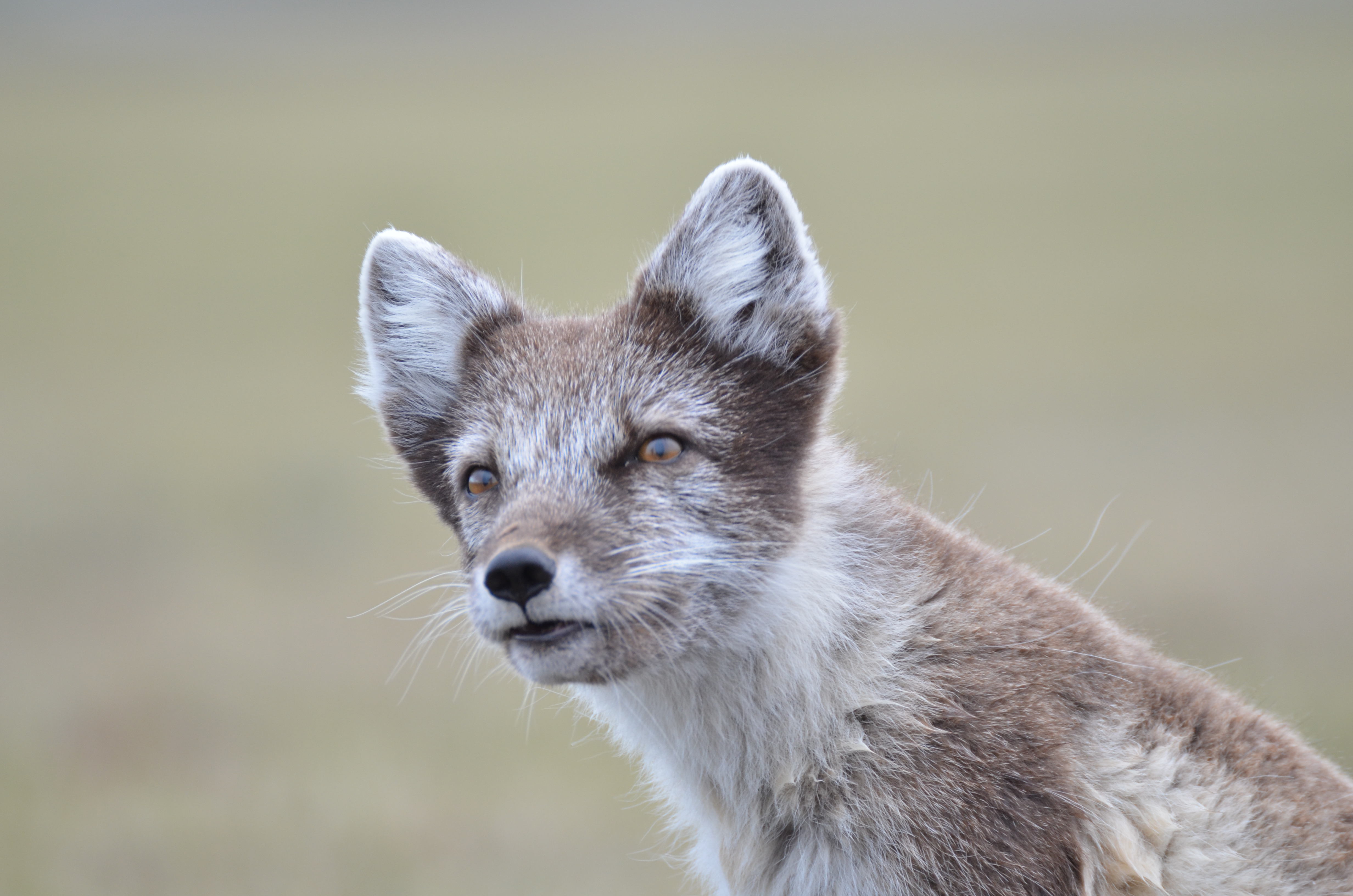 Arctic fox. Photo: L. Demongin