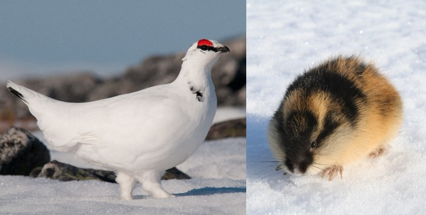 Lemmings and ptarmigans are circumpolarly distributed species groups in terrestrial Arctic ecosystems; here  represented by a rock ptarmigan male (photo: Geir Vie) and a Norwegian lemming. Photo: Rolf A. Ims