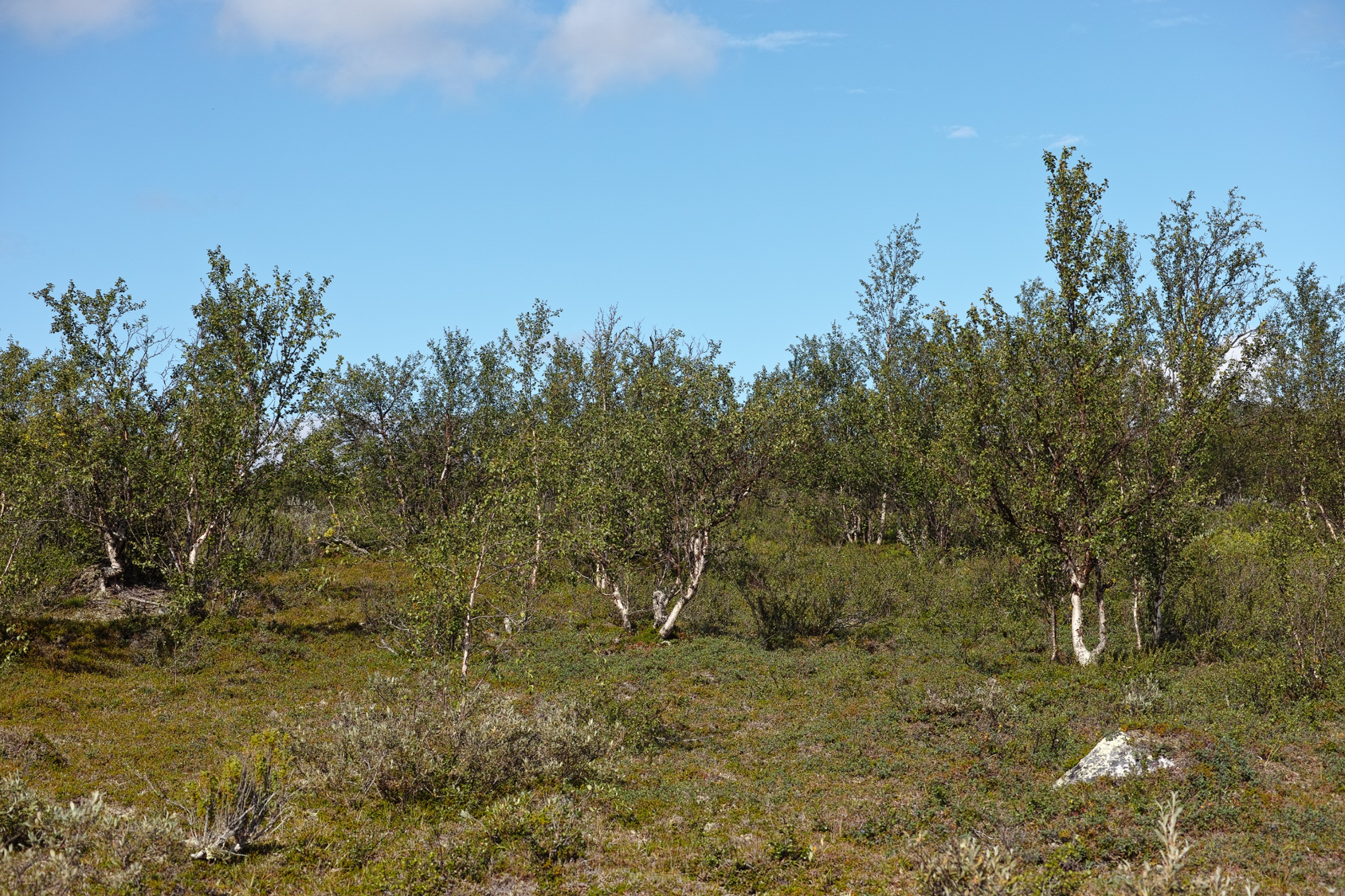 Northern-boreal mountain birch forest. Photo: Jakob Iglhaut.