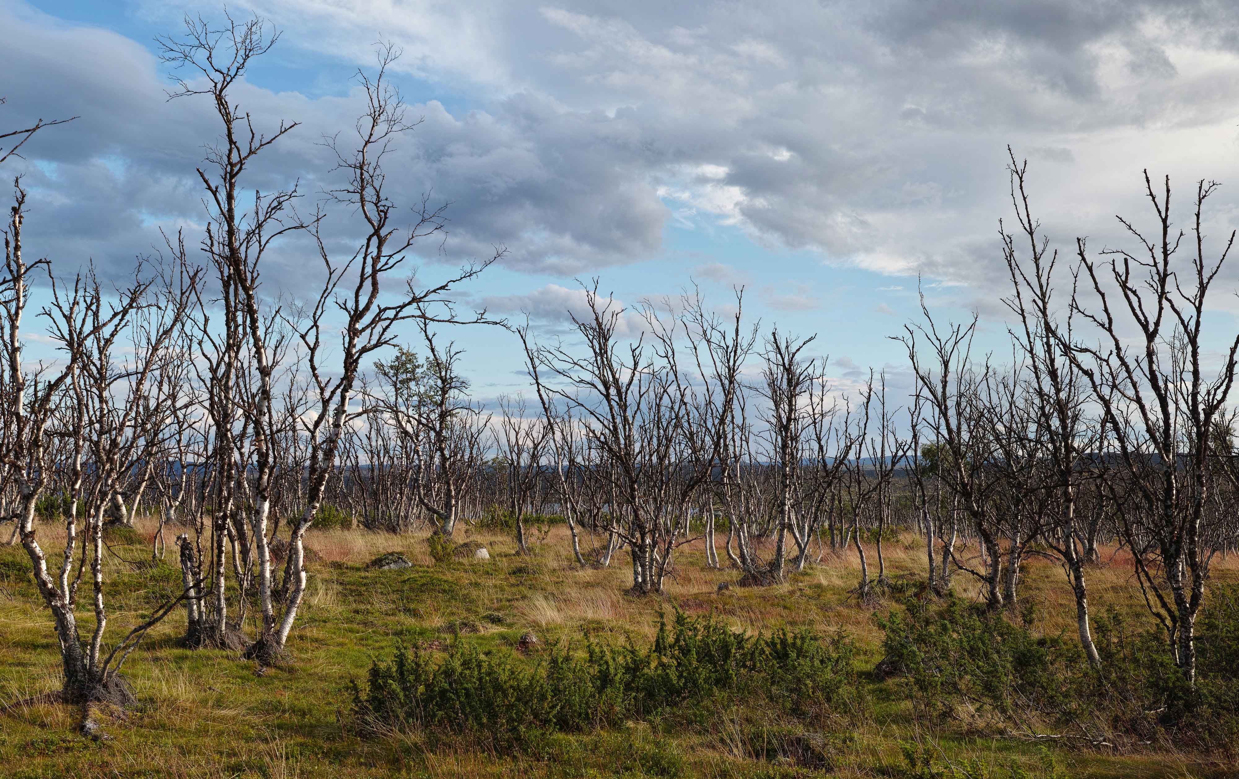 Mountain birch trees that have been killed by a moth outbreak in Eastern Finnmark, northern Norway,Photo: Jacob Iglhaut